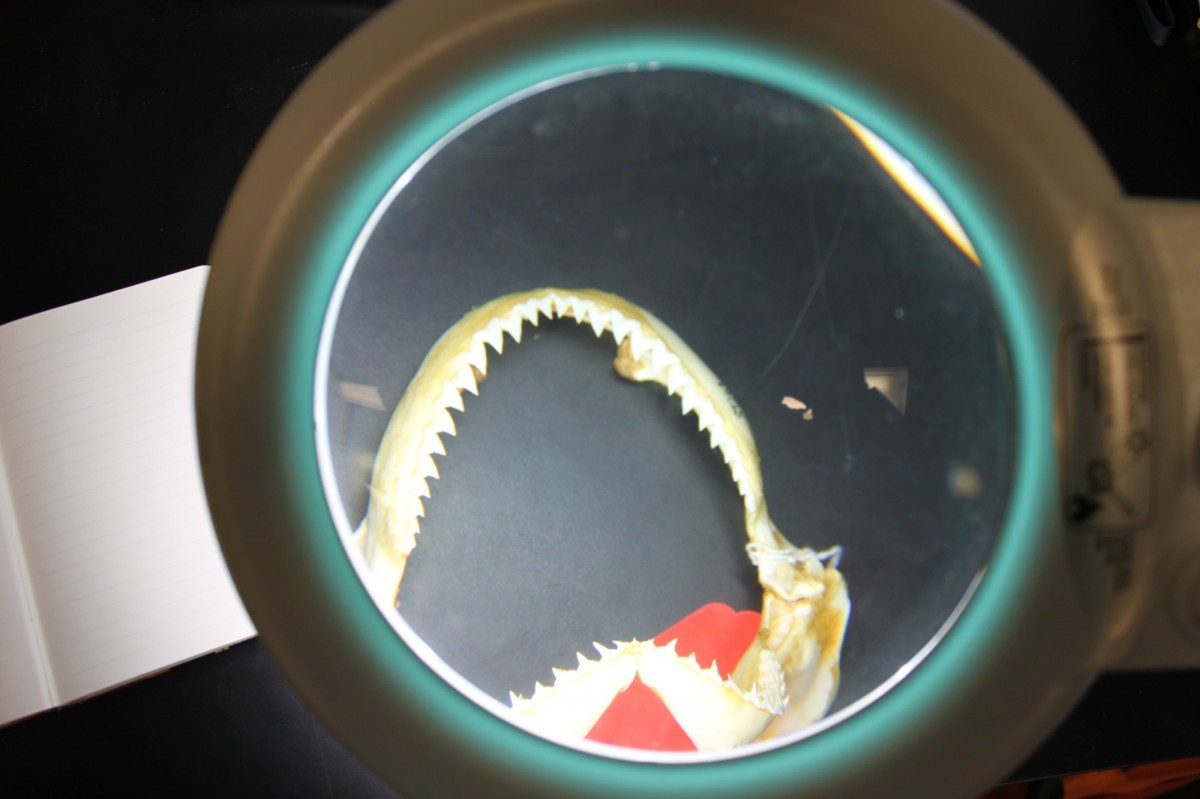 Sampling data from a set of shark jaws in the AMNH