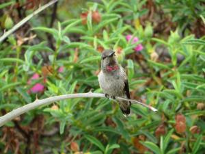 An Anna's Hummingbird (Calypte anna) at rest. Photo by Jeremy Spool